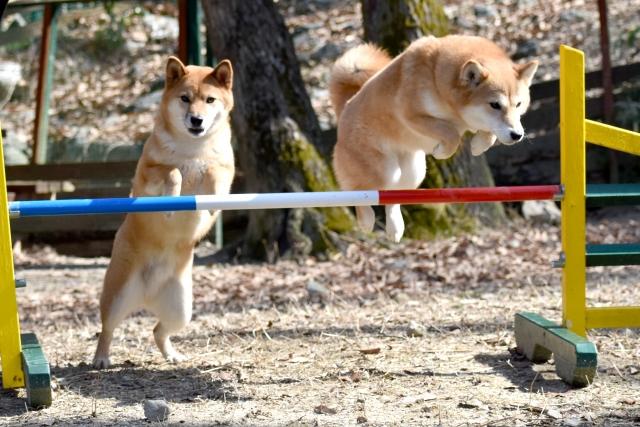 柴犬とカナガン