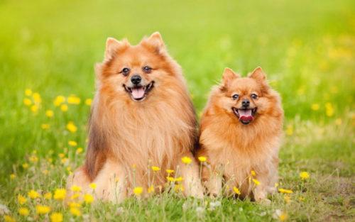 カナガン犬ポメラニアン
